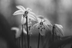 Scilla (Patrice StG) Tags: sony nex3n bokeh nb bw noiretblanc blackandwhite cosinon50mmf17m42 flower fleur spring printemps gimp