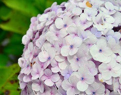Hydrangea flowers at sunny day in a garden (phuong.sg@gmail.com) Tags: abstract asia asian background beautiful beauty blossom blurred botanic bush color dalat ecology environment flora floral flowers focus fragile freshness green growth herb hortensia hydrangea japan macro macrophylla natural nature nobody outdoor pink plant purple season shrubs soft softness spring summer vietnam wildflower