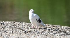 Posing Pigeon (maytag97) Tags: maytag97 nikon d750 tamron 150600 150 600 white pigeon outdoor outside sunshine sunny nature bokeh posing cute wild