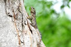 Five-keeled Spiny-tailed Iguana (SVALDVARD) Tags: lizard svaldvard svaldvardink josegabriel josegabrielmartinez nicaragua herpetology herptología herps
