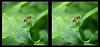 Hoverfly On Curly Leaf 1 - Crosseye 3D (DarkOnus) Tags: pennsylvania buckscounty panasonic lumix dmcfz35 3d stereogram stereography stereo darkonus closeup macro insect hoverfly curly curled leaf crossview crosseye diptera