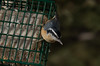 IMGP8671 (CatseyeGomez) Tags: nevada reno bird nuthatch redbreasted