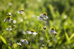 Alegres manzanillas (Letua) Tags: bokeh chamomile daisies flores floressilvestres flowers green manzanilla naturaleza nature verde healing herbs