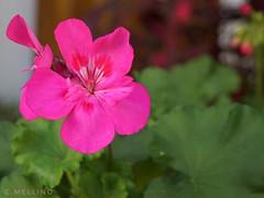 I fiori sono capolavori della natura. (Dorothy Parker) (clausterrible) Tags: flowers flores fiori natura nature colors colori colores sardegna sonya5100 sony alpha5100