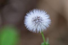 pissenlit - dendelion - Löwenzahn - Macro du jour (oudjat45) Tags: vert grün fleur flower blumen blanc white nature natur pissenlit dendelion macro löwenzahn green
