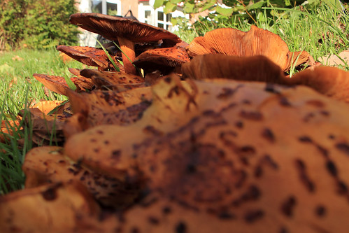 """Hallimasche (Armillaria) (14) • <a style=""""font-size:0.8em;"""" href=""""http://www.flickr.com/photos/69570948@N04/37482740424/"""" target=""""_blank"""">View on Flickr</a>"""