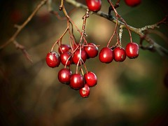 Nov Red Berries 9183 (saxonfenken) Tags: 6855trees 6855 berries red shallowdof twig branch challengeyouwinner cyunanimous tcf perpetual