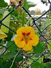 Kapuzinerkresse - Explore 19.Nov.2017 # 307 (mama knipst!) Tags: kapuzinerkresse blume flower fleur natur