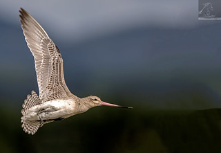 Bar-tailed Godwit 39