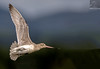 Bar-tailed Godwit 39 (Black Stallion Photography) Tags: bar tail godwit bird wildlife newzealand nzbirds flight open wings sunlit pink beak black stallion photography igallopfree