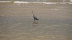 DSC04900 (Matthew283) Tags: bolvar wildlife 11182017 reddish egret