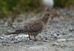"Colombe à queue noire - Common Ground-Dove • <a style=""font-size:0.8em;"" href=""http://www.flickr.com/photos/42840860@N06/37643015305/"" target=""_blank"">View on Flickr</a>"