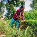 A woman harvesting lemongrass