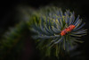 45/52 Macro (melbaczuk) Tags: 40mm 40mmlens 52weeksthe2017edition week452017 weekstartingsundaynovember52017 cannon canon7d christmastree closeup kelowna macro needles pinecone pinetree treesgreen week45theme zoomedin