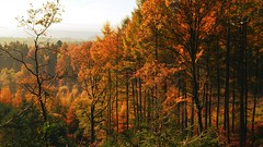 In All Its Glory (Daphne-8) Tags: landscape andscape landschaft landschap paesaggio panorama paysage paisaje trees bäume bomen arbres arboles colours colors farben colores forest wald woud bosque woods autumn autumne otoño otonho herbst herfst light licht lumière luce luz pines tannen dennen naaldbos pinos pinheiros pins forêt bos