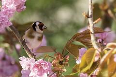 European Goldfinch (Jongejan) Tags: bird goldfinch outdoor wildlife nature tree flower distelvink
