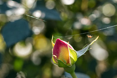 photobombed by a spider! (Francis Mansell) Tags: spider arachnid spidersilk invertebrate rose rosebud bud flower plant kewgardens kew royalbotanicgardenskew dof depthoffield bokeh animal backlit