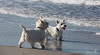 2017 - 11_25 - Animals - Dogs - Sushi_Angus 01 (stevenlazar) Tags: largs beachwater sand northhaven puppy 2017 ocean australia dog water animals adelaide white southaustralia scottishterrier