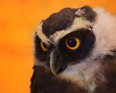 I'm in love (FocusPocus Photography) Tags: eule owl brillenkauz spectacledowl pulsatrixperspicillata vogel tier animal portrait bird