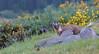 Pine Marten, Scottish Highlands (KHR Images) Tags: pinemarten martesmartes sweetmarten pinten baummarten wild carnivorous mammal mustelid mustelidae scottish highlands western scotland wildlife nature dusk gorse bluebells nikon d500 kevinrobson khrimages