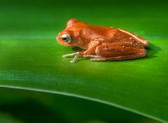 Grenouille - Amphibien - Chiromantis - foam-nest frog - Amphibia - Cambodge - Cambodia - 1 (Domw) Tags: grenouille amphibien chiromantis foamnest frog amphibia cambodge cambodia