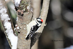 Downy Woodpecker (Picoides pubescens) (Gerald (Wayne) Prout) Tags: downywoodpecker picoidespubescens animalia chordata aves piciformes picidae picoides pubescens pincherrytree herseylakeconservationarea cityoftimmins northeastern northernontario ontario canada prout geraldwayneprout canon digital camera photographed photography downy woodpecker birds wildlife fauna nature animals herseylake hersey lake conservationarea conservation timmins area canoneos60d eos 60d