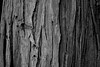 Bark (jporter17191) Tags: bark dunkeld wood woodland bw monochrome blackandwhite