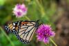 DSC00448 Pink is Delicious (Nancy loves ping pong) Tags: desertbotanicalgarden phoenixaz butterfly sonyrx10iv birdgecamera bokehoftheday november2017 topazsoftware topazclarity bokehlicious bokeh bridgecamera