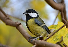 Great Tit (Eleanor (No multiple invites please)) Tags: greattit leaves branch kensingtongardens london nikond7100 november2017