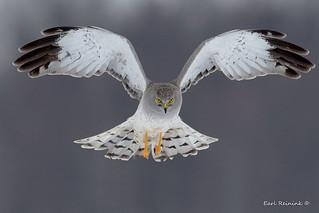 Harrier male