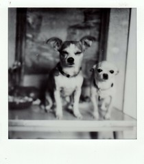 table dogs (EllenJo) Tags: hazel simon chiweenie chihuahua dogs pals impossibleproject bw sx70 polaroid polaroidoriginals pets cute squint