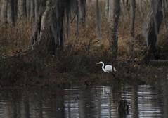 Stalking prey (dougwest403) Tags: egret spanishmoss savannahriver