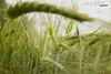 Before autumn sets in. (53Hujanen) Tags: lappeenranta suomi finland scandinavia skandinavia pelto field corn grain vilja luonto nature naturelight naturallight canon canoneos700d canonefs1855mmf3556isstm kitlens kesä summer syksy autumn wind tuuli landscape maisemakuva