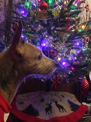 Poppy loves the Christmas tree 😄 (CraftyBev) Tags: christmaslights christmas christmasjumper christmastree pet dog