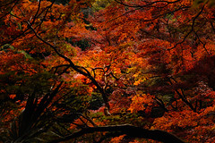 into the red woods (Tomo M) Tags: autumncolor forest woods branch red maple 紅葉 tokyo 等々力不動尊 nature leaves light landscape outdoor