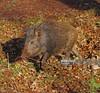 Wild Boar piglet (Gary Chalker, Thanks for over 3,000,000. views) Tags: wildboar wildboarpiglets pentaxk5 pentax sigma105mmf28exdg