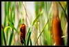 roseaux (alexandredufix) Tags: roseaux plantes perspective plants feuilles