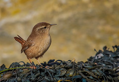 Wren on seaweed - (Troglodytes troglodytes) 'Z' for zoom (hunt.keith27) Tags: troglodytestroglodytes wren jenny log somerset levels tiny quick outdoor animal feathers wing beak insects spiders short round wings bird