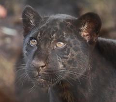 jaguarcub artis BB2A3967 (j.a.kok) Tags: jaguar jaguarcub jaguarwelp pantheraonca zwartejaguar blackjaguar artis animal zuidamerika southamerica kat cat mammal predator zoogdier dier