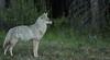 Coyote...#6 (Guy Lichter Photography - 3.7M views Thank you) Tags: canon 5d3 canada alberta banff banffnationalpark wildlife animal animals mammals coyote
