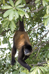 Central American Spider Monkey (Critter Seeker) Tags: spidermonkey monkey nicaragua centralamerica mammal nature natural outdoors outside animal animals wildlife