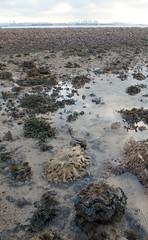 Fluted giant clam (Tridacna squamosa) (wildsingapore) Tags: pulau jong mollusca bivalvia tridacnidae tridacna squamosa island singapore marine intertidal shore seashore marinelife nature wildlife underwater wildsingapore