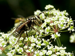 Bald-faced Hornet (treegrow) Tags: suitlandbog lifeonearth nature canonpowershotsx40hs raynoxdcr250 arthropoda insect magnoliabog hymenoptera vespidae dolichovespulamaculata taxonomy:binomial=dolichovespulamaculata