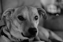 Black and White Chucky (rabidscottsman) Tags: scotthendersonphotography chucky dog dachshundmix dachshundcross pet animal critter blackandwhite