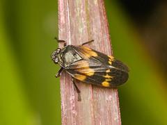 Schaumzikade, Mahanarva sp. Cercopidae (Eerika Schulz) Tags: froghopper cercopidae schaumzikade zikade cicada mindo ecuador mahanarva eerika schulz