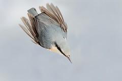 Goooooo..... (Gianluca Mariani Nature Photographer) Tags: animali wild wildlife natura28 naturalibera picchiomuratore