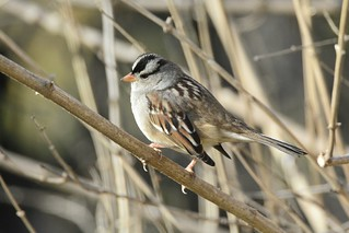 White-crowned Sparrow (Gambel's or intergrade) by Jackie B. Elmore 12-6-2017 Lincoln Co. KY