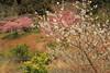 DPP_9467 (catalyst1991) Tags: spring cherry cherryblossom dangling danglingcherry park pink yellow genpeipeach beautiful flower tokyo japan japanesebeauty happyflower japanesemind laimo macro blossom kawadsu izu