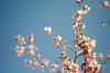 L1017795c (haru__q) Tags: leica m8 leicam8 minolta rokkor cherry blossoms sakura 桜 櫻 サクラ 河津桜