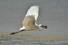Great Egret 大白鷺 (Jeffreycfy) Tags: egrets greategret birds birding wildlife nature animals ardeidae ardeaalba nikon d500 nikkor200500mmf56e tc14eiii 大白鷺 鷺科 涉禽